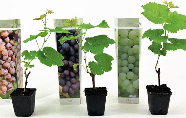 druiven-verschillende-kleuren-buitenplant