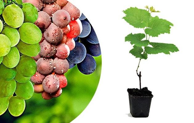 druivenplanten-verschillende-kleuren