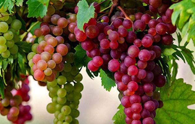 rode-druiven