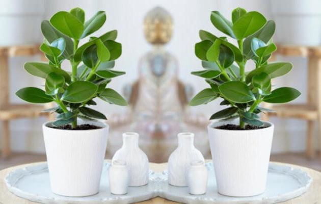 perfect-plant-clusia