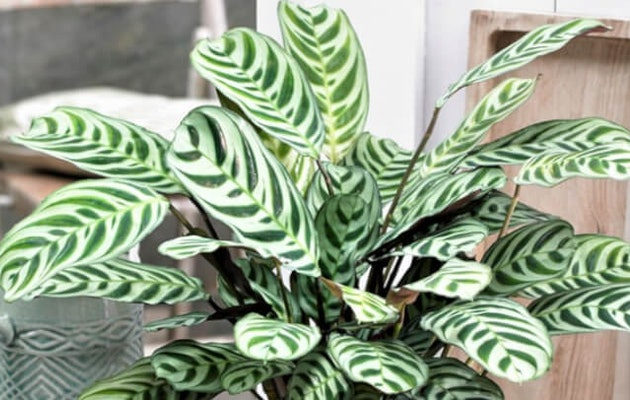perfect-plant-ctenanthe