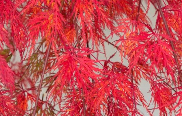 rode-japanse-esdoorn-herfstblad